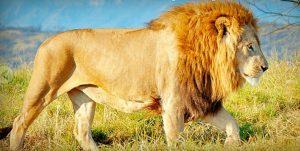 G2J_Exoticca_león
